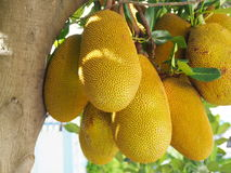 Artocarpus heterophyllus Στοκ εικόνες με δικαίωμα ελεύθερης χρήσης