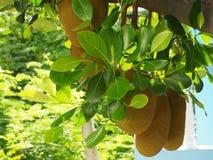 Artocarpus heterophyllus Royalty Free Stock Image
