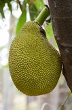 Artocarpus heterophyllus fruit Royalty Free Stock Photo