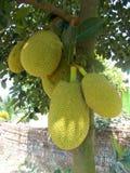 Artocarpus heterophyllus jackfruit Στοκ Φωτογραφία