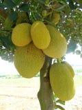 Artocarpus heterophyllus jackfruit. Artocarpus heterophyllus fruits jackfruit on tree Stock Images