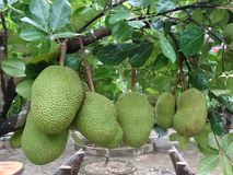 Artocarpus heterophyllus - jackfruit. Fruits of Artocarpus heterophyllus - jackfruit royalty free stock image