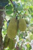 Artocarpus heterophyllus Lam, Jackfruit Στοκ φωτογραφία με δικαίωμα ελεύθερης χρήσης