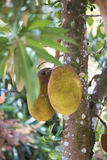 Artocarpus Jackfruit heterophyllus Μαδαγασκάρη Στοκ φωτογραφία με δικαίωμα ελεύθερης χρήσης