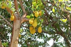 Artocarpus plant Stock Images