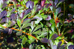 Artopurpurea thunbergii Berberis Στοκ εικόνα με δικαίωμα ελεύθερης χρήσης