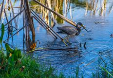 Tricolored Heron and Concentric Circles stock photo
