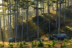 Wild buffalo live in the pine forest with best sunshine at sunrise. Artwork done elaborately, landscape and nature at the dawn, wild buffalo live in the pine stock image