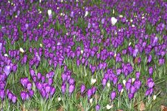 Artwork of nature with blooming crocuses Royalty Free Stock Photos