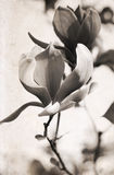 Artwork in retro style,  magnolia Royalty Free Stock Images