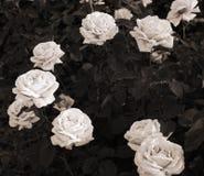 Artwork in retro style,  roses Stock Photo