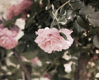Artwork in retro style,  roses Royalty Free Stock Image