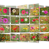 Artwork of zinnia flowers Royalty Free Stock Photo