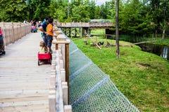 Artykuł wstępny - Lipiec 29, 2014 przy Parc safari, Quebec, Kanada na b Obrazy Stock