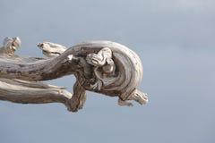 Artystyczna smok głowa jest naturalnym sztuką w gnarled drewnie Obraz Royalty Free