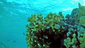Aruanus de Dascyllus de la damisela del embaucamiento en un coral de piedra en agua poco profunda - de lado almacen de metraje de vídeo