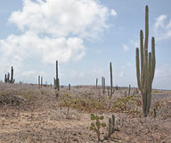 Aruba Cactus Royalty Free Stock Photo