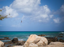 Aruba coastline with pelican Royalty Free Stock Photo