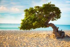 Aruba Divi Divi Tree Royalty Free Stock Image