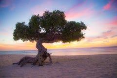 Aruba Divi Divi Tree. Divi Divi tree on the beach of Aruba at sunset Stock Image