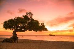 Aruba Divi Divi Trees Royalty-vrije Stock Afbeeldingen