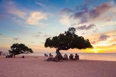 Aruba Divi Divi Trees Royaltyfria Bilder