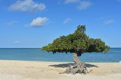 Aruba Divi Divi Trees with White Sand Beach. Amazing white sand beach with Aruba divi divi trees Stock Photography