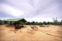 Aruba Donkey Sanctuary Royalty Free Stock Photography
