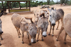 Aruba Donkeys. Donkeys at the Aruba Donkey Sanctuary. The Sanctuary is rated well on TripAdvisor and if looking for something different to do with the day, a royalty free stock photos