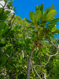 Aruba Foliage Royalty Free Stock Image