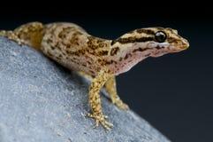Aruba-Gecko/Gonatodes-antillensis lizenzfreies stockfoto