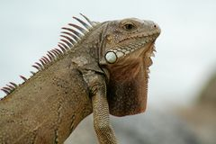 Aruba Iguana. Detailed shot of an iguana Royalty Free Stock Photo