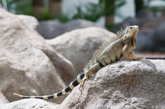 Aruba iguana Royalty Free Stock Images