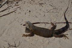 Aruba iguana fotografia royalty free