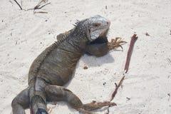Aruba iguana obrazy royalty free