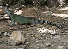Aruba-Leguan, der Hintergrund aufwirft Lizenzfreie Stockfotografie