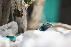 Aruba Lizard, Aruba Echse Stock Image