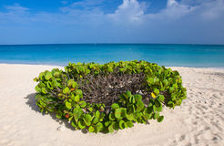 Aruba, With Love. Eagle beach, Aruba, with  heart shaped vegetation Royalty Free Stock Photo