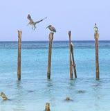 Aruba-Pelikane Lizenzfreie Stockfotos