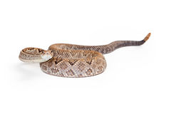 Aruba Rattlesnake Coiled Looking Forward Stock Photo