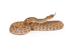 Aruba Rattlesnake Coiled Side View Tongue Out Stock Photography