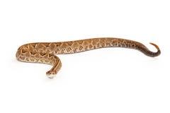 Aruba Rattlesnake Looking Forward Side View Stock Image