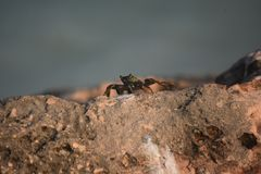 Great Crab on A Large Rock Jetty in Aruba. Aruba rock jetty with a creeping crab on it Stock Images