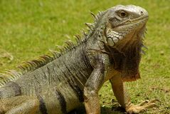 Aruban Iguana Stock Photography