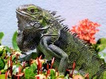 Aruban Lizard Stock Images