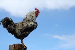 arucauna打鸣的雄鸡 库存照片