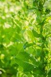 Arugula, μαρούλι, φύλλο, κήπος, χρώμα, τρόφιμα, φύλλα, πράσινα, ο Μπους, καρύκευμα, μαγείρεμα Στοκ εικόνα με δικαίωμα ελεύθερης χρήσης