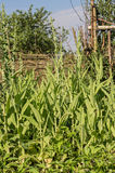 Arugula, μαρούλι, φύλλο, κήπος, χρώμα, τρόφιμα, φύλλα, πράσινα, ο Μπους, καρύκευμα, μαγείρεμα Στοκ Εικόνα