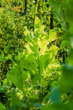 Arugula, μαρούλι, φύλλο, κήπος, χρώμα, τρόφιμα, φύλλα, πράσινα, ο Μπους, καρύκευμα, μαγείρεμα Στοκ φωτογραφία με δικαίωμα ελεύθερης χρήσης