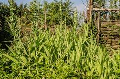 Arugula, μαρούλι, φύλλο, κήπος, χρώμα, τρόφιμα, φύλλα, πράσινα, ο Μπους, καρύκευμα, μαγείρεμα Στοκ εικόνες με δικαίωμα ελεύθερης χρήσης